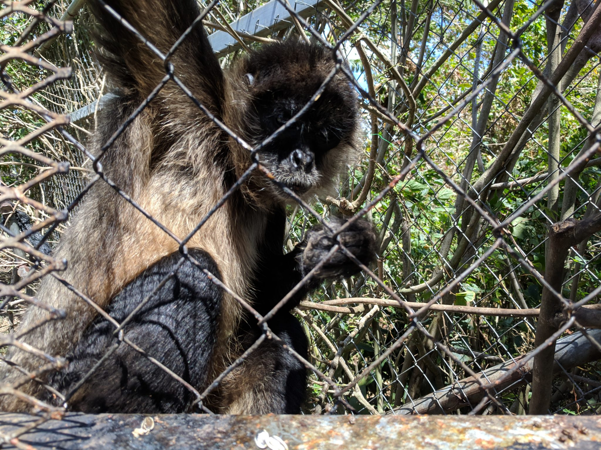 Jungla de Panama spider monkey