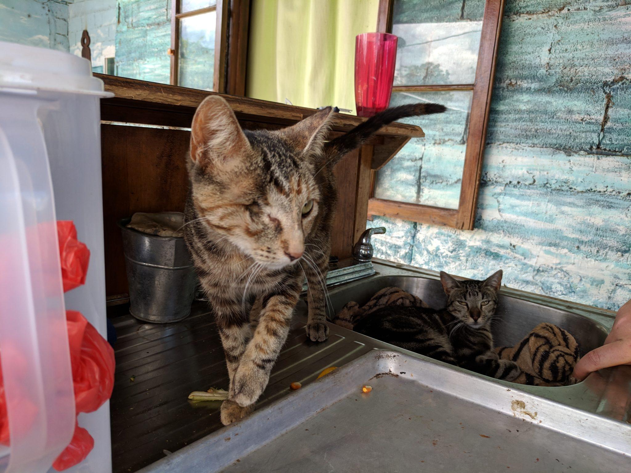 Jungla de Panama cat